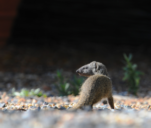 10 cool things about the Cape grey mongoose mongoose