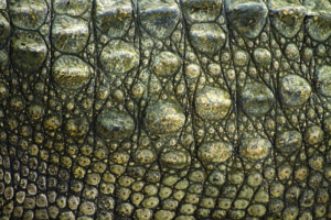 The awesome anatomy of the crocodile shutterstock 106636619
