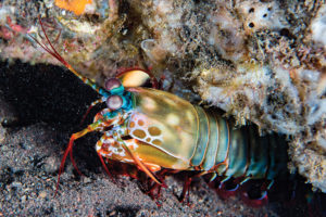 10 Cool Things About The Mantis Shrimp shutterstock 496822333