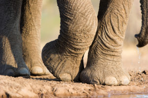 10 Cool things about the elephant shutterstock 307317047