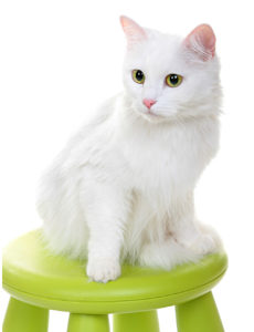 Q & A: Are white cats prone to skin cancer and is it treatable? vet