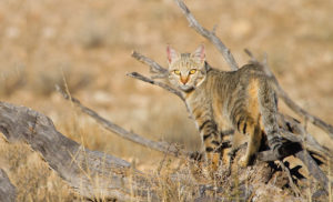 Catslife- Walking on the wild side wild cat